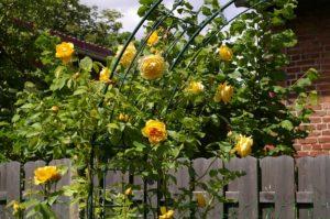 gelbe Rosen im Garten