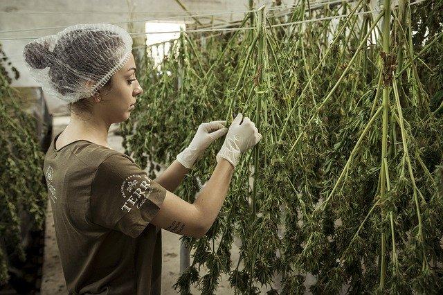 cannabis anbauen